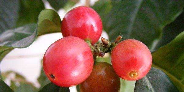 source// http://upload.wikimedia.org/wikipedia/commons/7/79/Coffee_berries_1.jpg